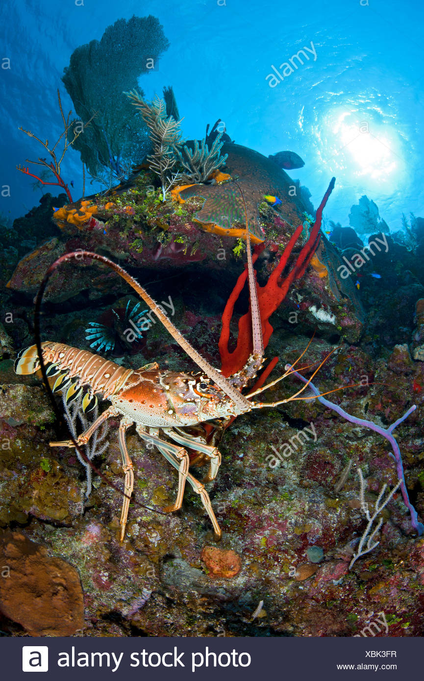 Spiny Lobster Stock Photos & Spiny Lobster Stock Images - Alamy