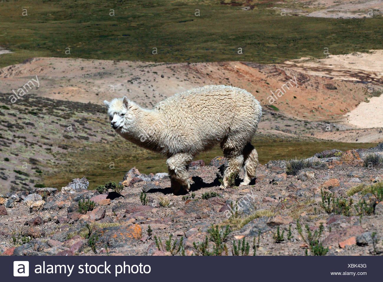 Alpacas, animals that adapt well to the cold of Andes, are bred for their wool and for their meat South America - Stock Image