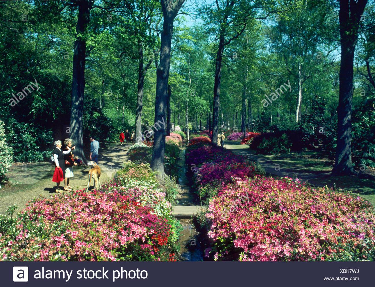 Isabella Plantation, Richmond Park, Surrey England UK flower flowers azalea azaleas rhododendron rhododendrons - Stock Image