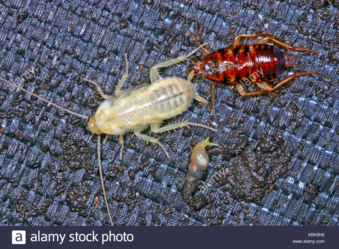 Australian cockroach (Periplaneta australasiae, Blatta australasiae), two cockroaches, one of them casted its skin, Germany Stock Photo