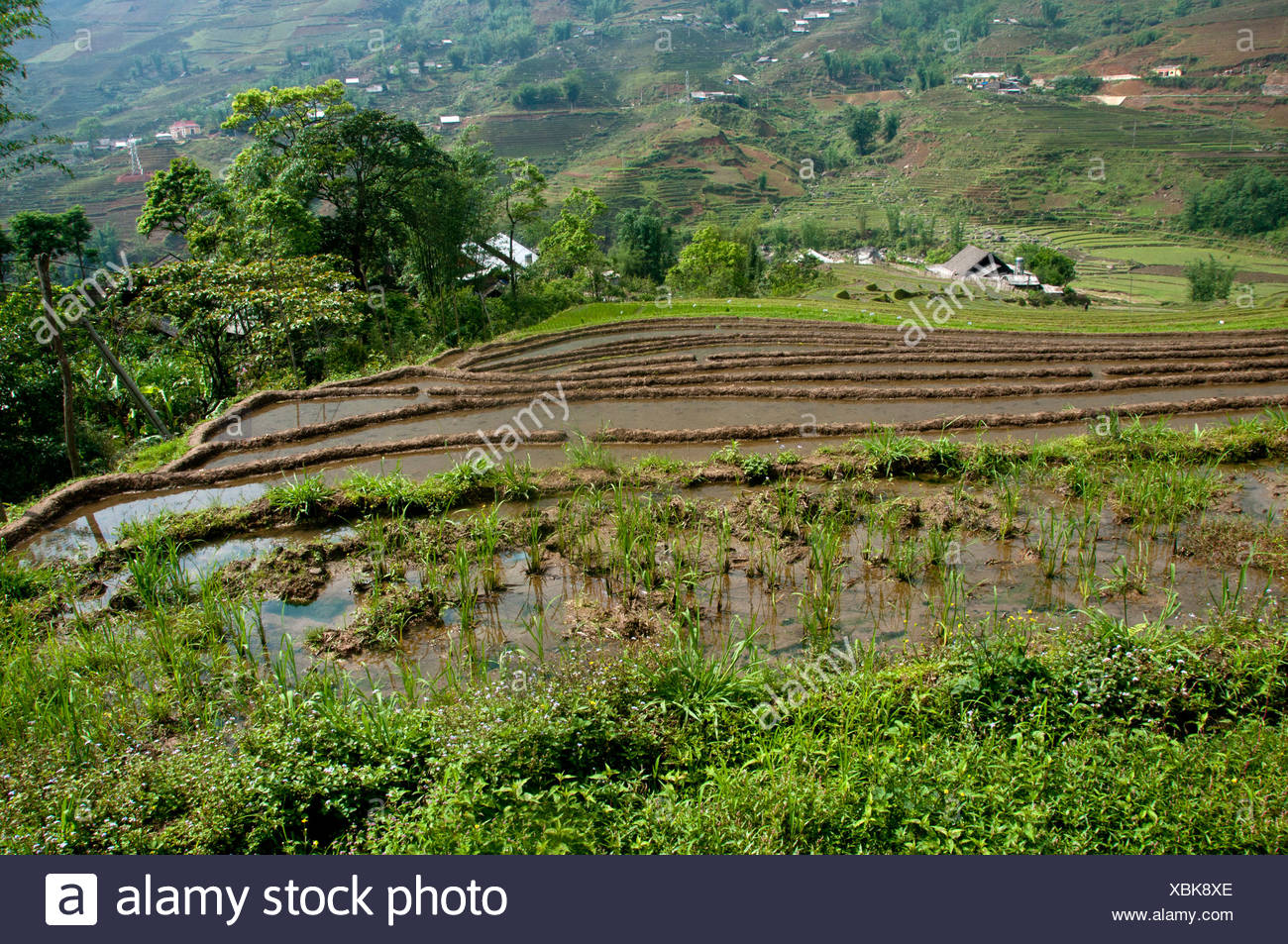 Rice field, terracing, Sapa, Northern Vietnam, Vietnam, Asia, rice, agriculture - Stock Image