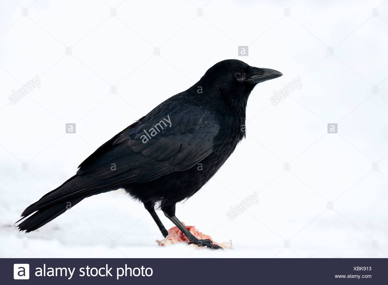 Carrion Crow (Corvus corone corone) scavenging, in winter, North Rhine-Westphalia, Germany - Stock Image