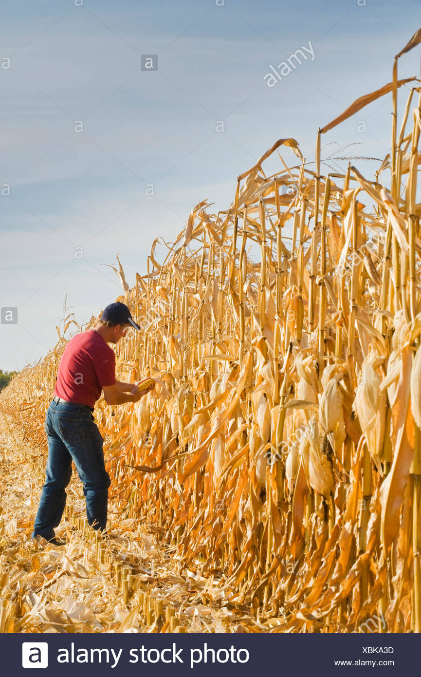 a farmer examines feed/grain corn during the harvest near Niverville, Manitoba, Canada - Stock Image