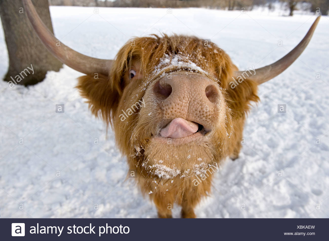 Highland Cattle. Portrait in winter Stock Photo