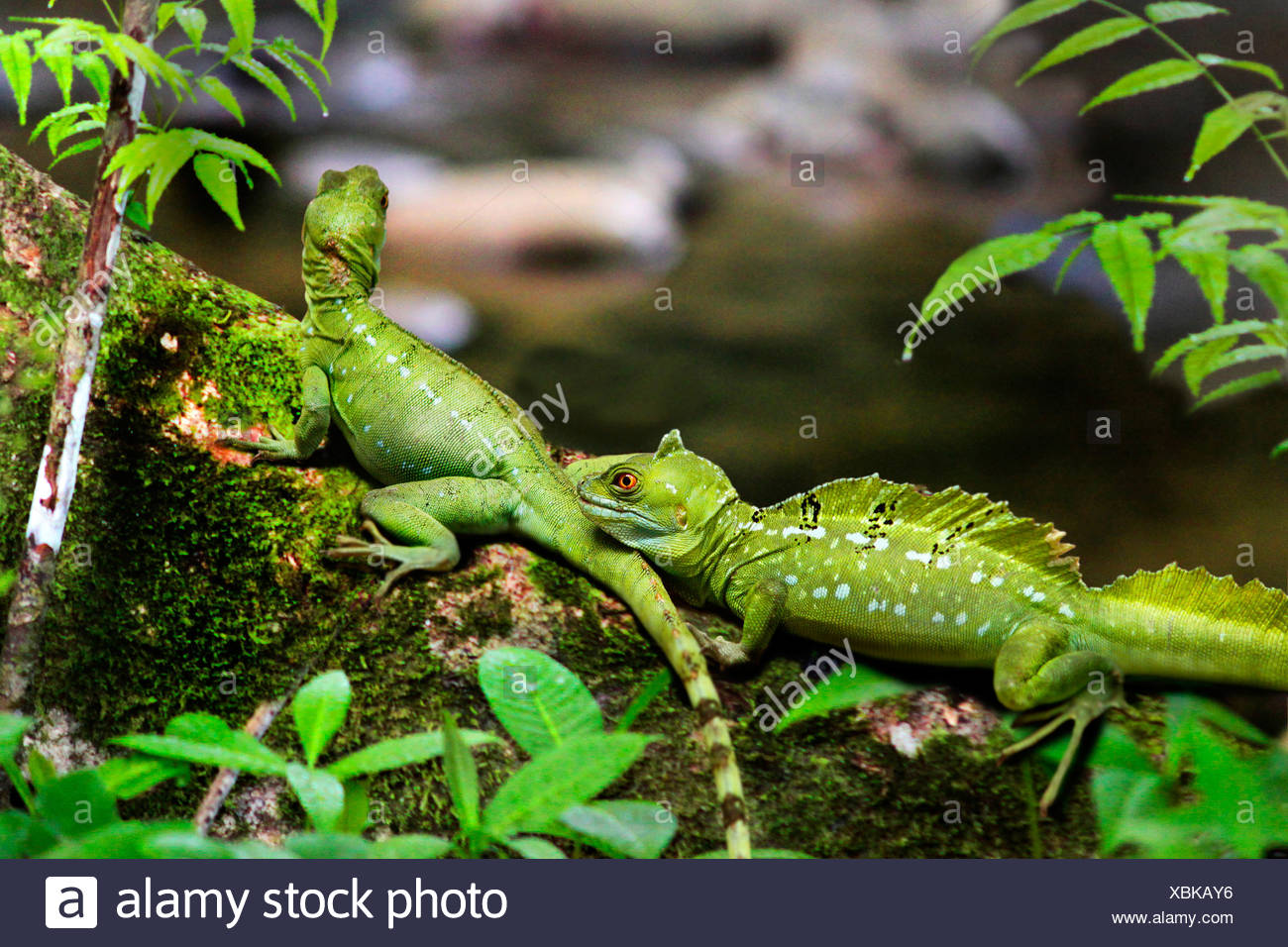 green basilisk, plumed basilisk, double-crested basilisk (Basiliscus plumifrons), two exemplars sitting on a mossy trunk in the tropical rain forest, Costa Rica - Stock Image