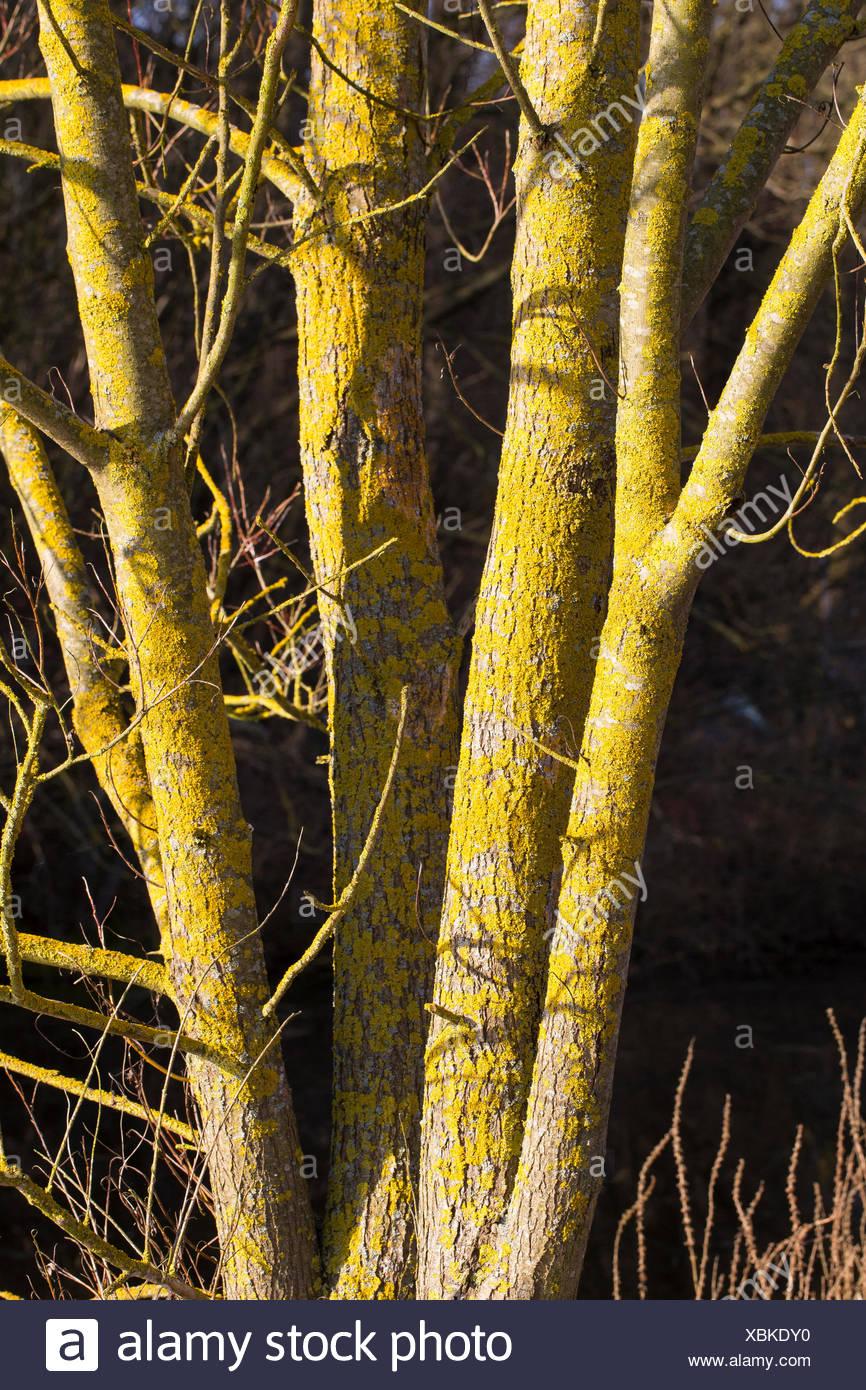 Common orange lichen, Yellow scale, Maritime sunburst lichen, Shore lichen, Golden shield lichen (Xanthoria parietina, Parmelia parietina), lichen on the bark of a tree, Germany - Stock Image