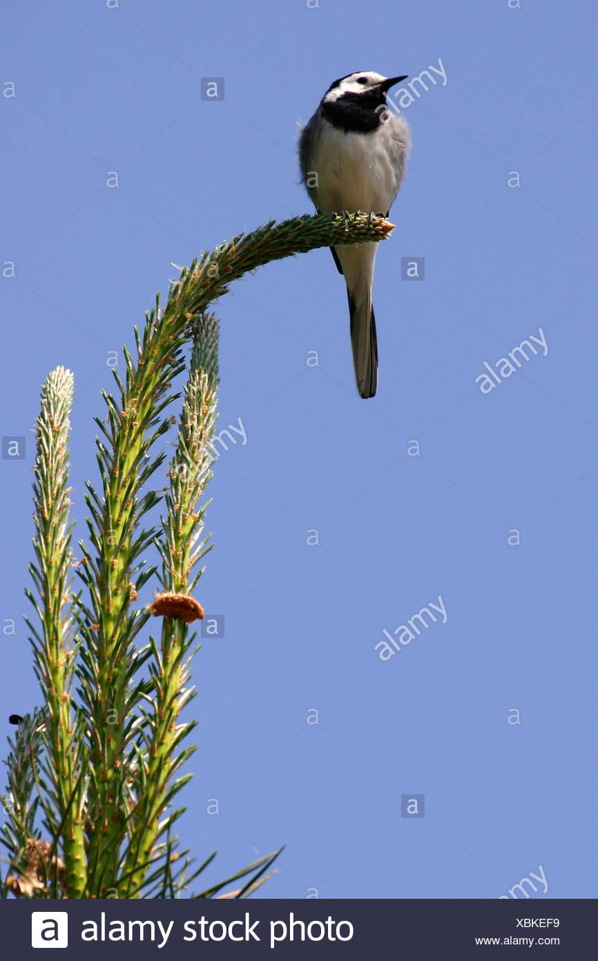 pied wagtail (Motacilla alba), sitting on a tree, Germany - Stock Image