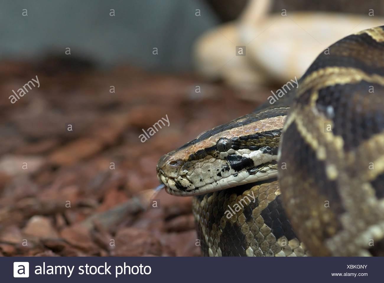 Danger Reptile Brown Brownish Brunette Tongue Fear Terrarium Snake