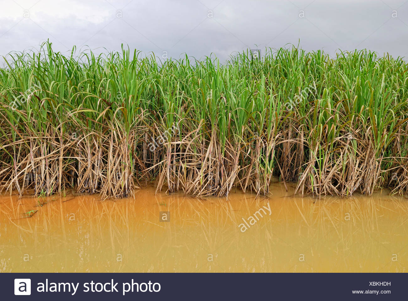 Sugarcane plantation after heavy rains, Highway 44, Cairns, Queensland, Australia - Stock Image