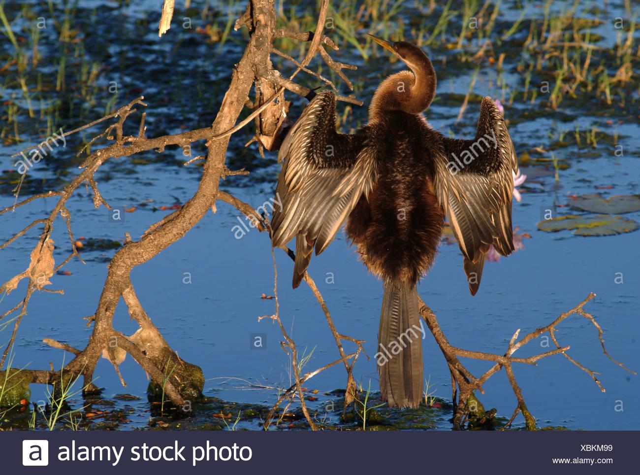 Australian Oriental Darter (Anhinga melanogasternovaehollandiae), Kakadu national park, Australia - Stock Image