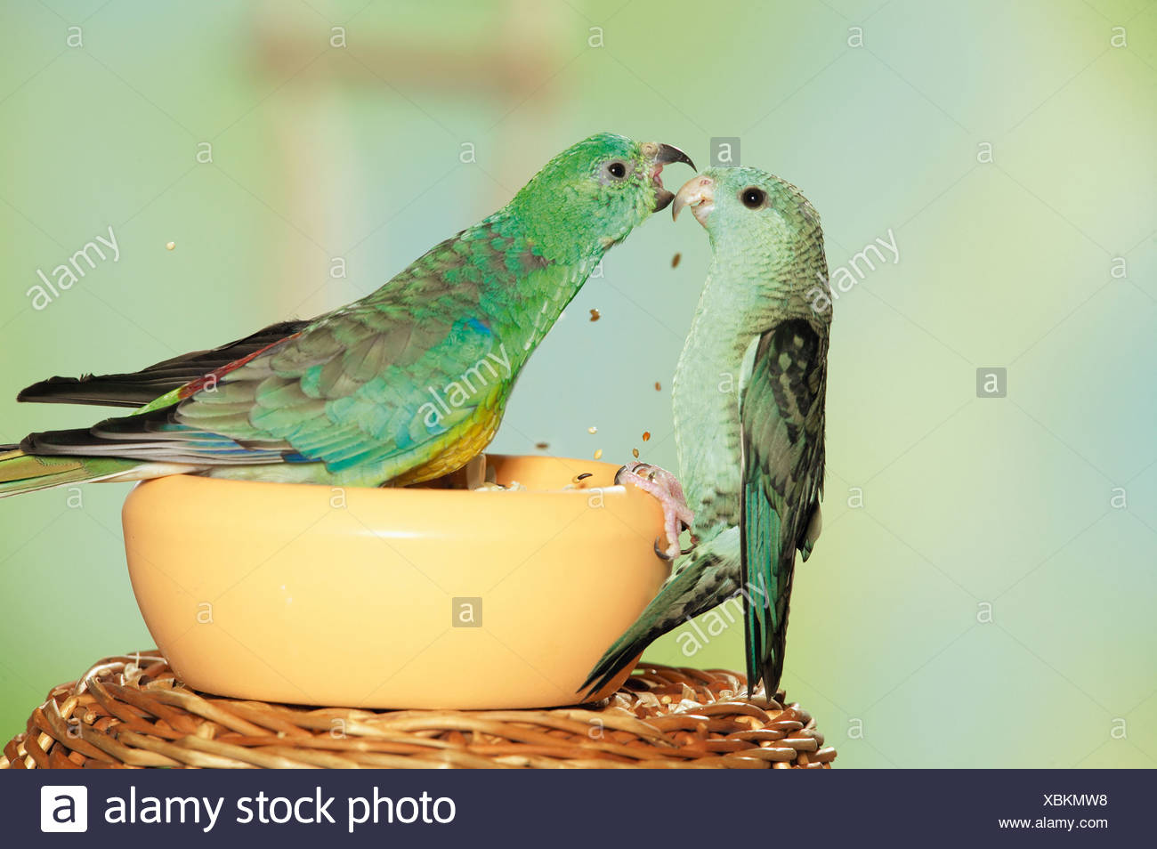 Red Rumped Parrots Stock Photos & Red Rumped Parrots Stock