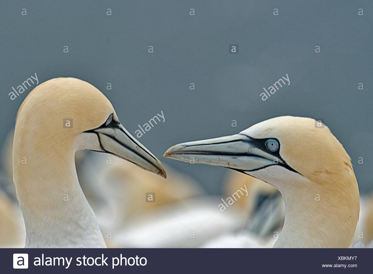 Two fell gannets looking at each other, Helgoland, Germany - Stock Image