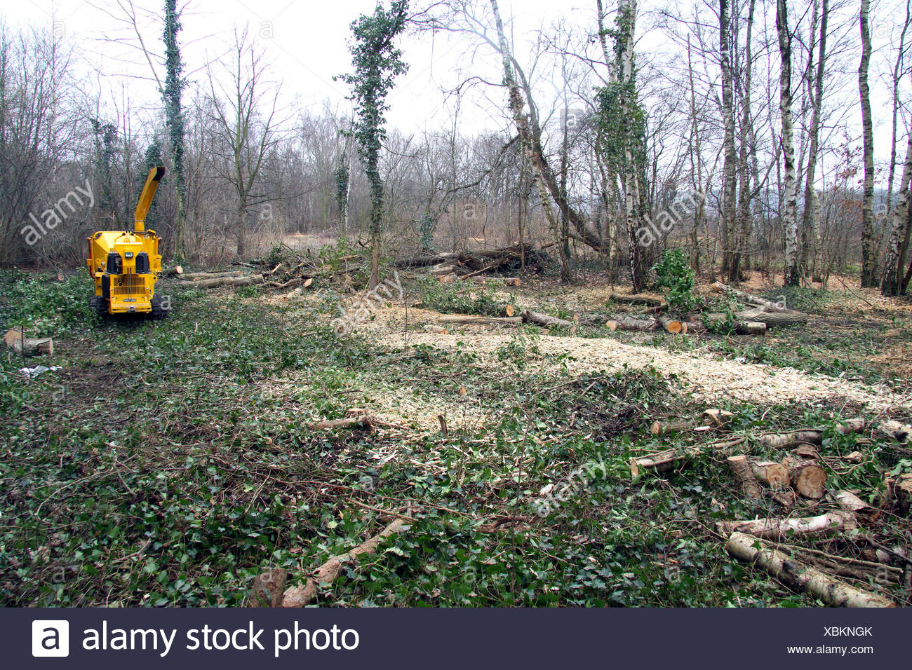 forest tending after storm losses, Germany - Stock Image