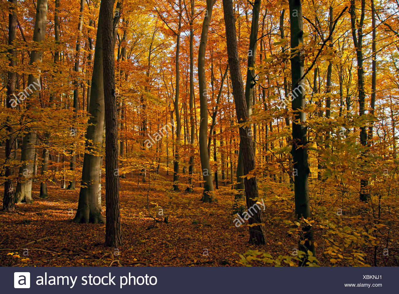 common beech (Fagus sylvatica), beech forest in autumn, Germany, Bavaria - Stock Image