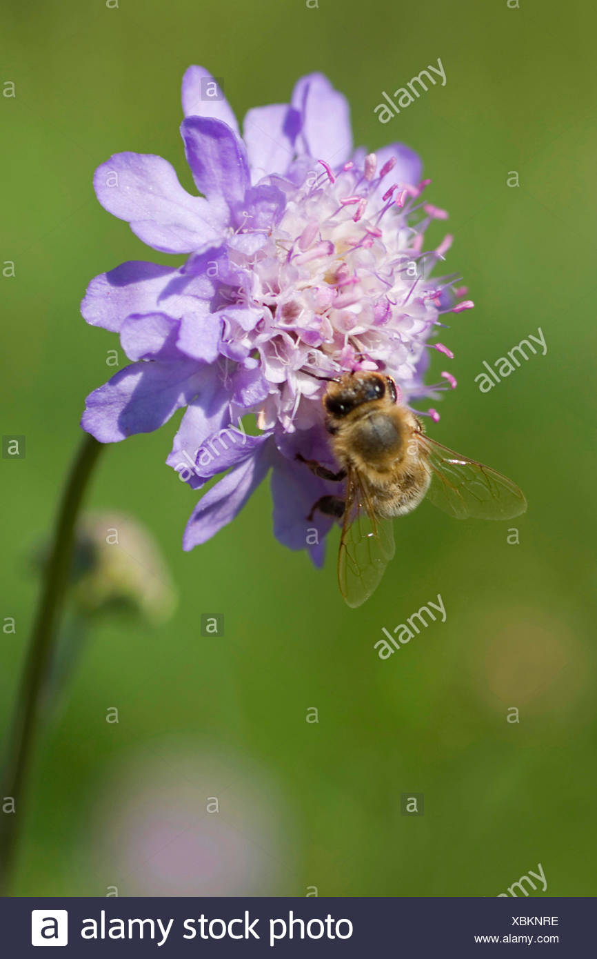 Fragrant Scabiosa (Scabiosa canescens), inflorescence with pollinator, Germany - Stock Image