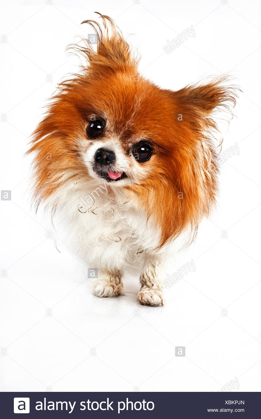Funny looking dog with tounge out - Stock Image