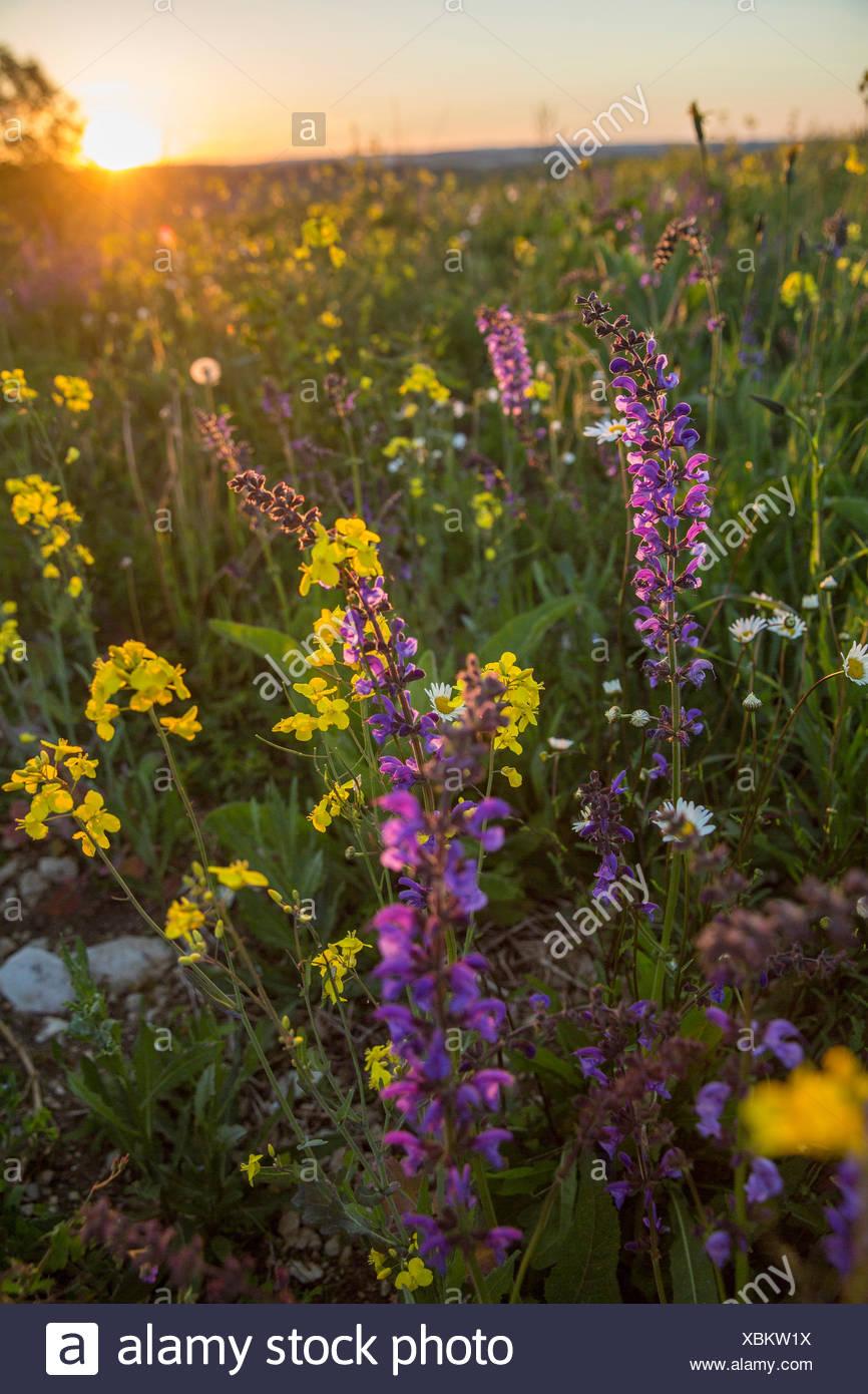 Randen, rough pasture, Beggingen, spring, canton, SH, Schaffhausen, flower, flowers, scenery, landscape, agriculture, meadow, Sw - Stock Image