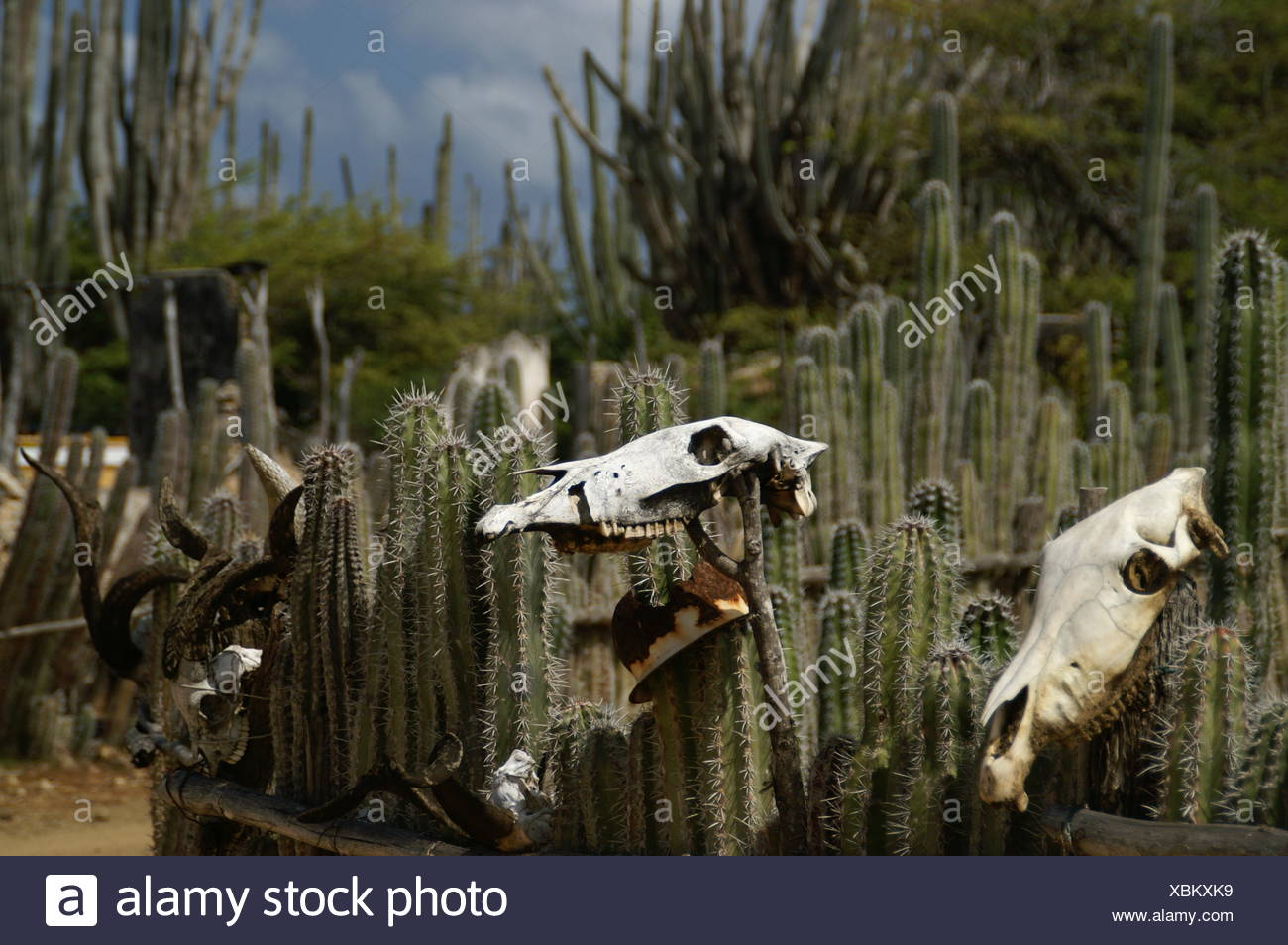 park animal goat fence skull bone cactus skeleton cowboy western