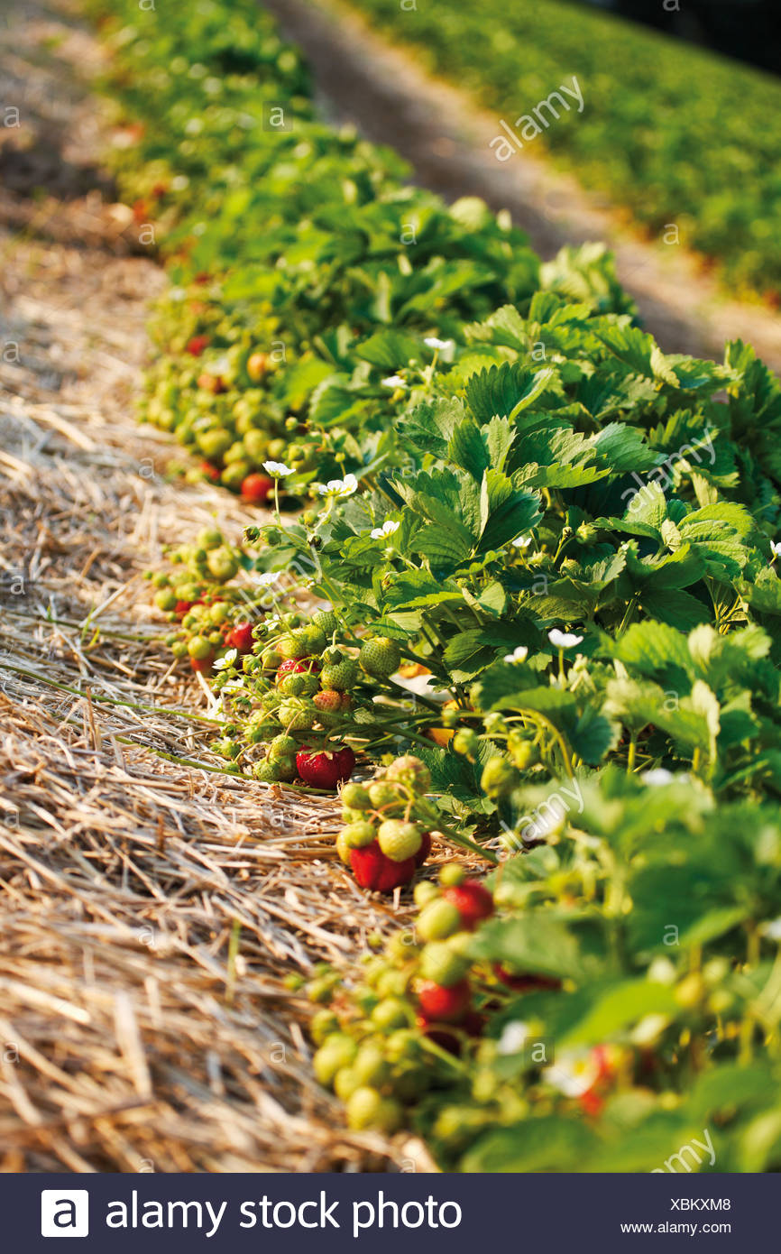 Germany, North Rhine-Westphalia, Berkum, Wachtberg, Strawberry field Stock Photo