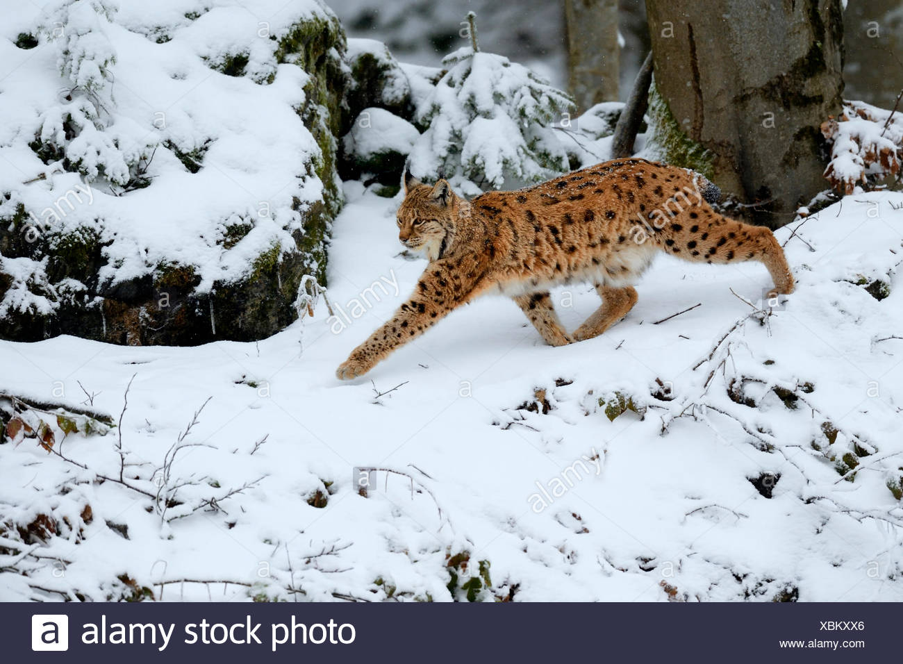 Lynx or Northern lynx (Lynx lynx) walks through the fresh snow