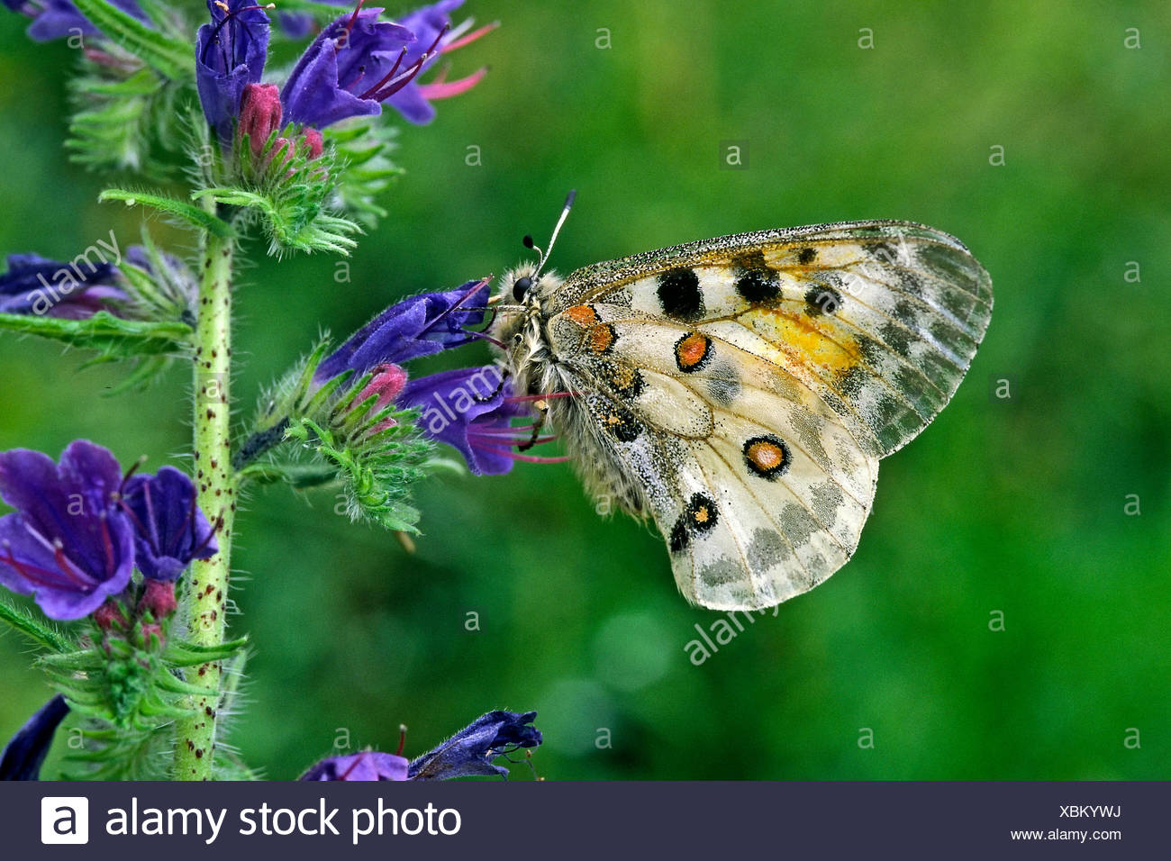 blue protected sheltered butterfly conservation of nature blank european Stock Photo