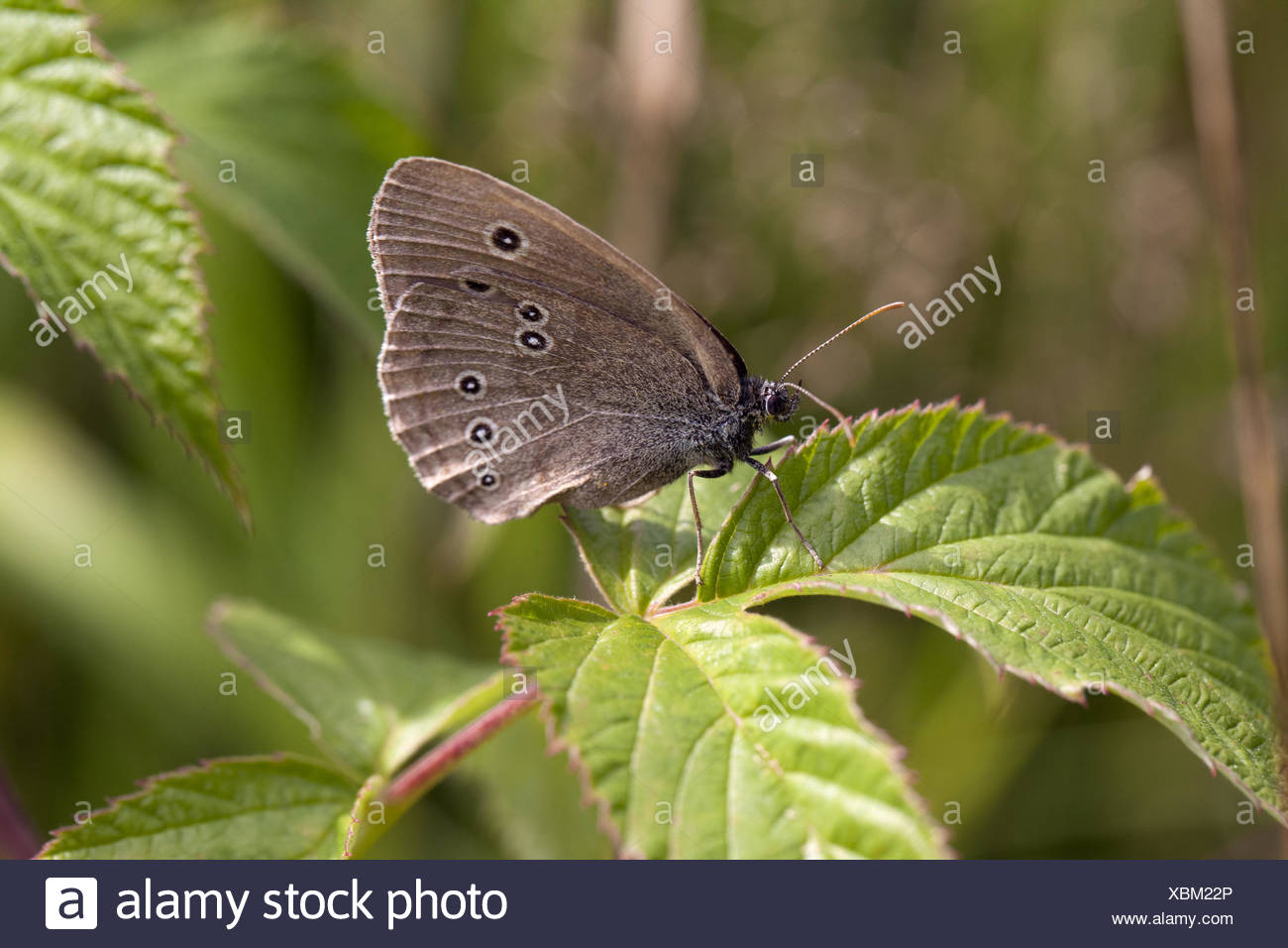 Butterfly on a leaf - Stock Image