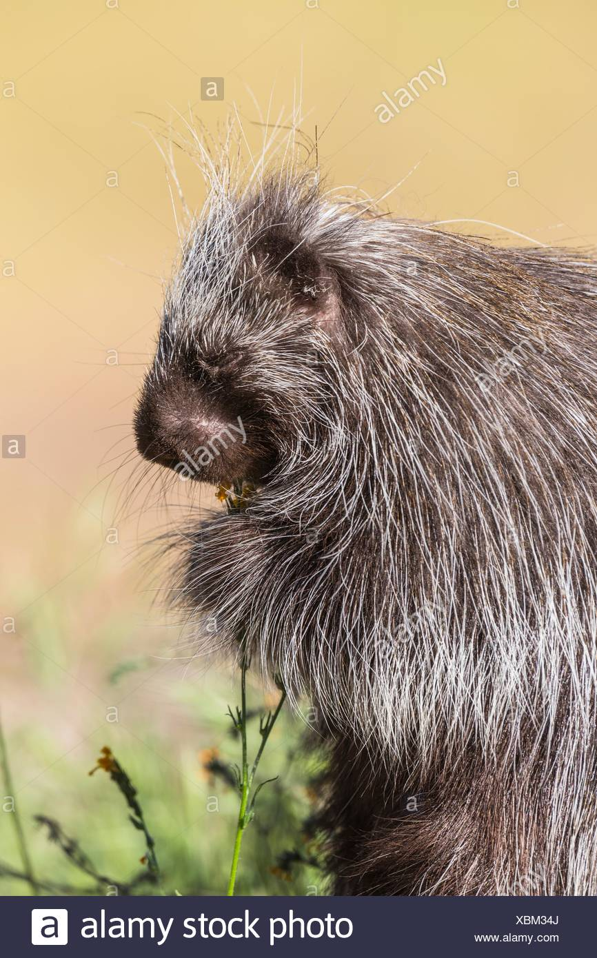 Cute porcupine (Erethizon dorsatum) feeding on some flowers, captive, California, USA Stock Photo
