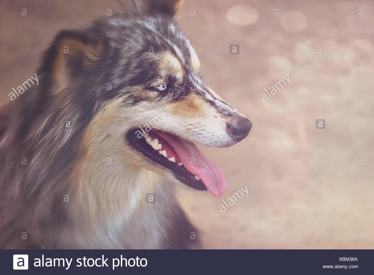 Portrait of panting dog - Stock Image