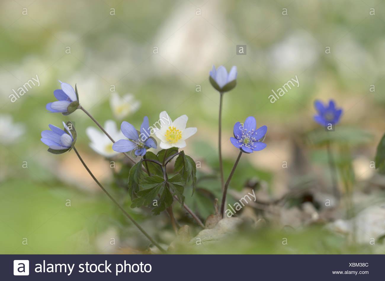 Liverwort (Hepatica nobilis) Stock Photo