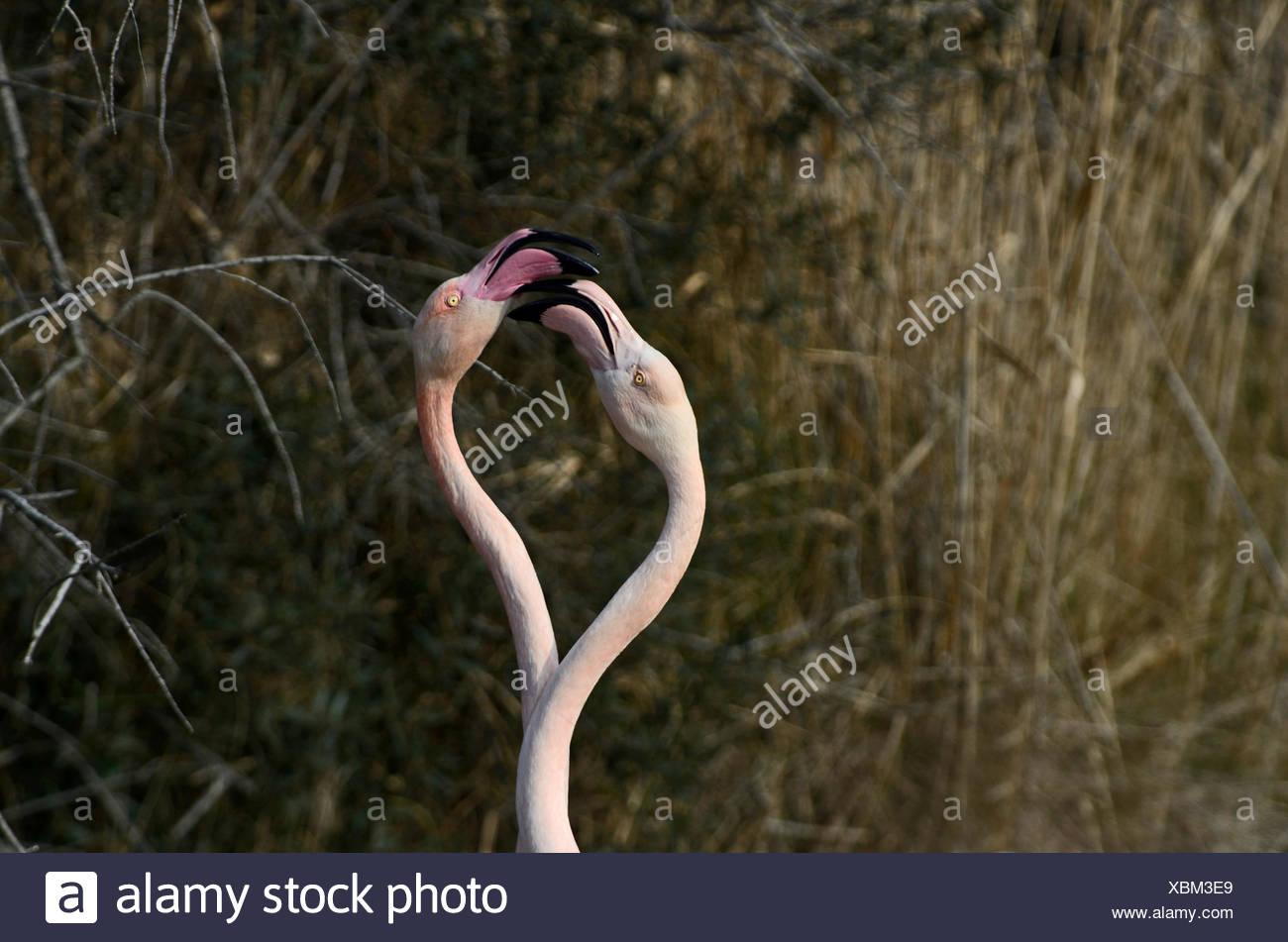 Greater Flamingo Phoenicopterus roseus  Camargue France - Stock Image