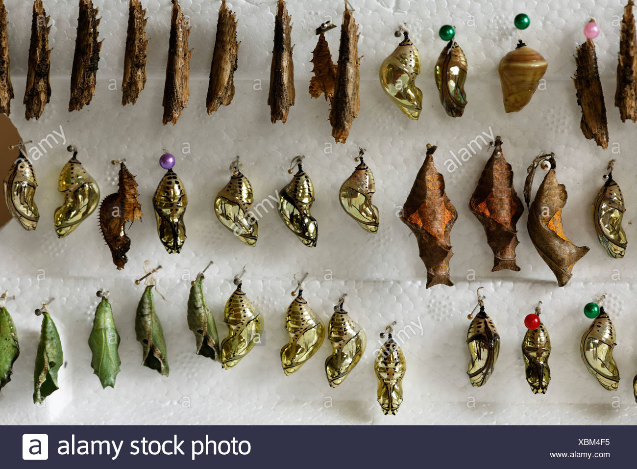 Pupas of butterflies at butterfly farm, Costa Rica - Stock Image