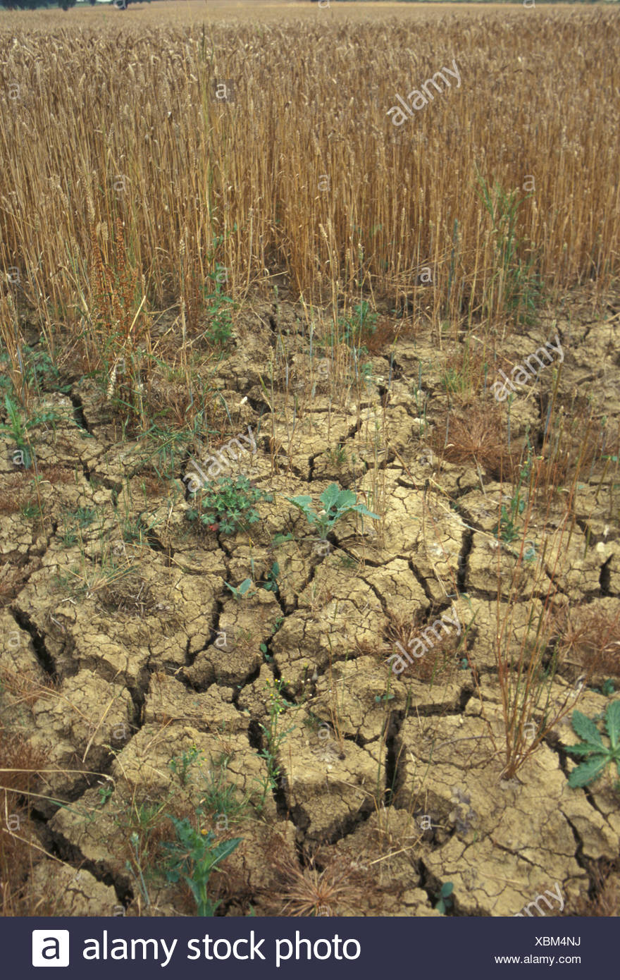 Drought Cracked earth in cornfield - Stock Image