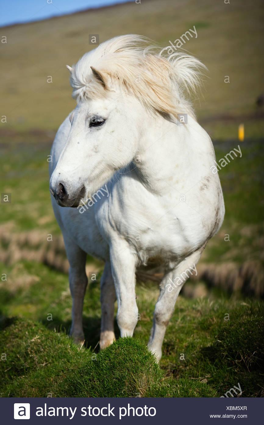 An Icelandic horse Iceland. Stock Photo