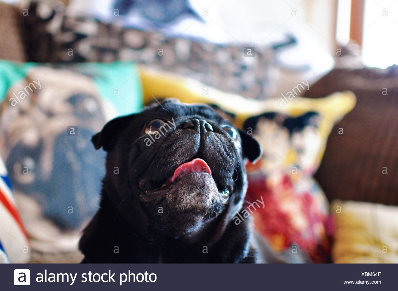 Close-Up Of Black Pug At Home - Stock Image