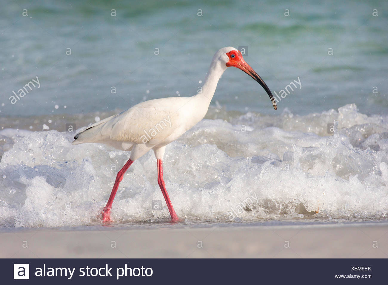 white ibis (Eudocimus albus), searching food in the drift line in front of the breaking of the waves, USA, Florida, Westkueste, Tampa - Stock Image