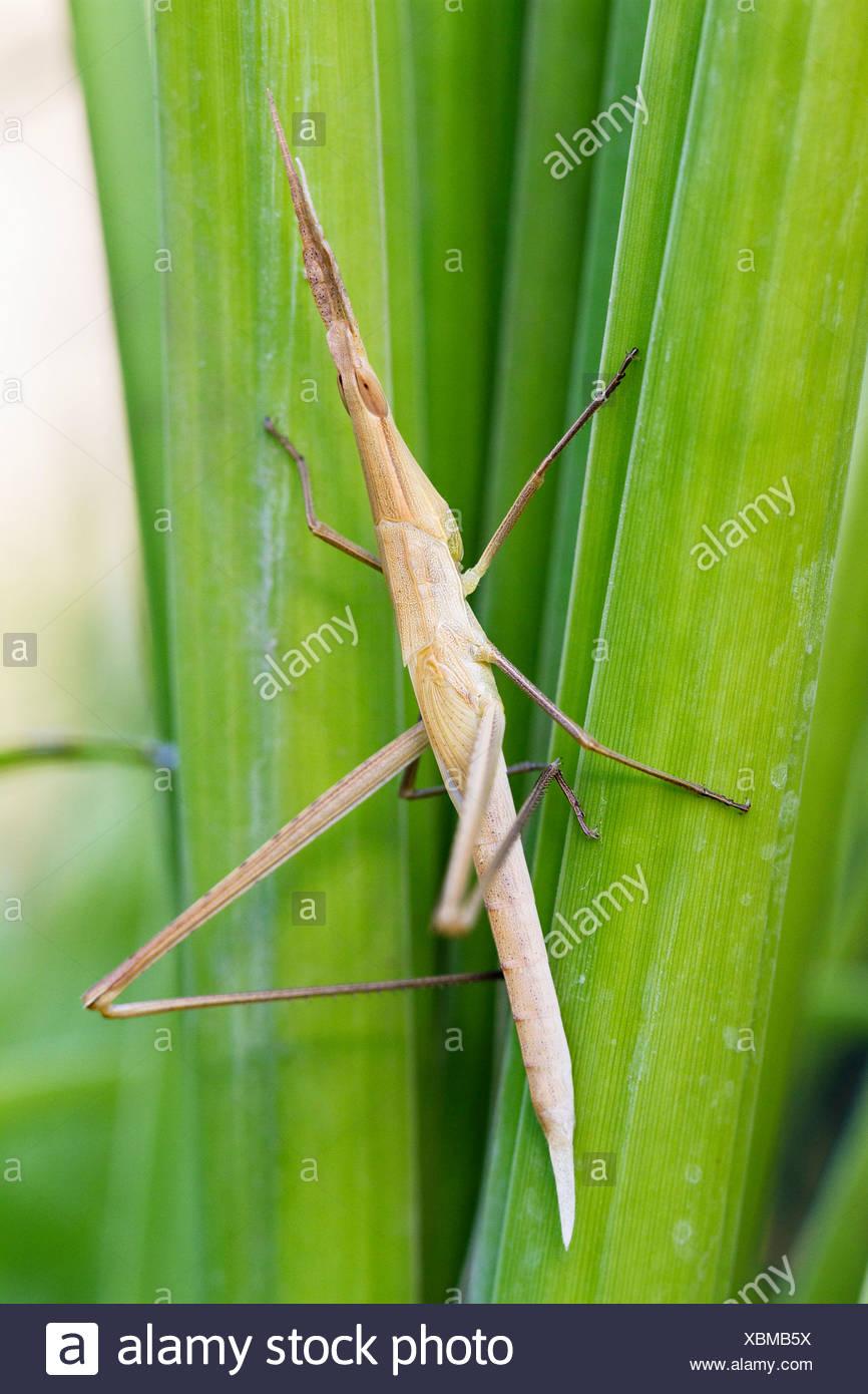 Mediterranean slant-faced Grasshopper (Acrida ungarica), Lycia, Asia Minor, Mediterranean, Asia - Stock Image