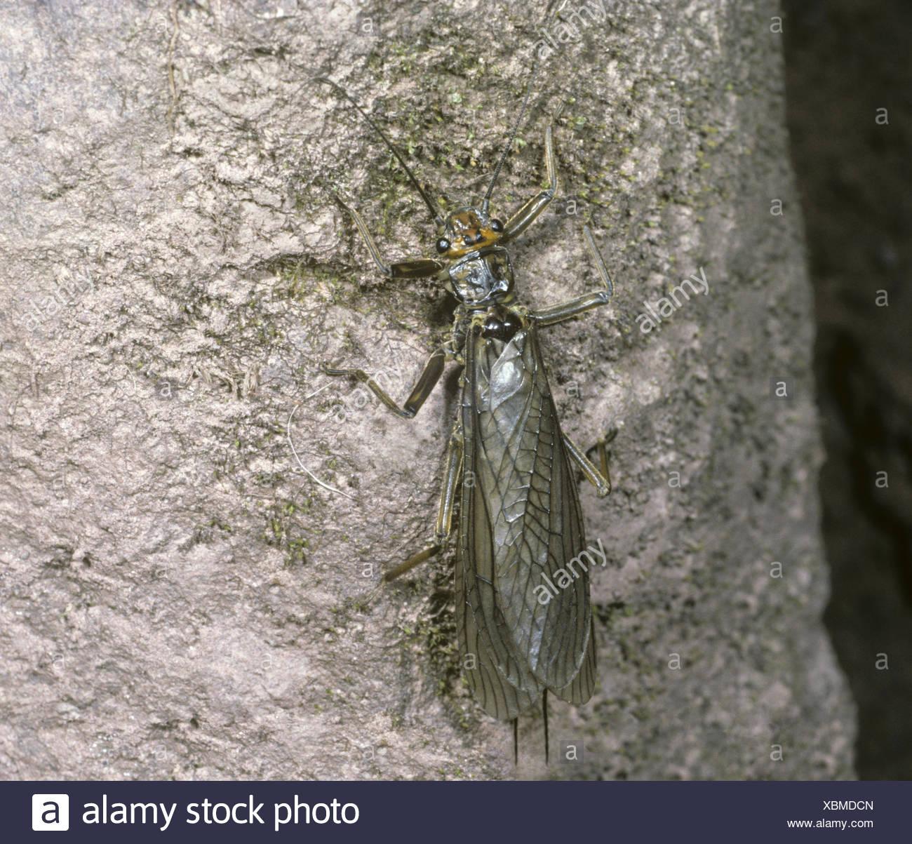 Stonefly - Dinocras cephalotes - Stock Image