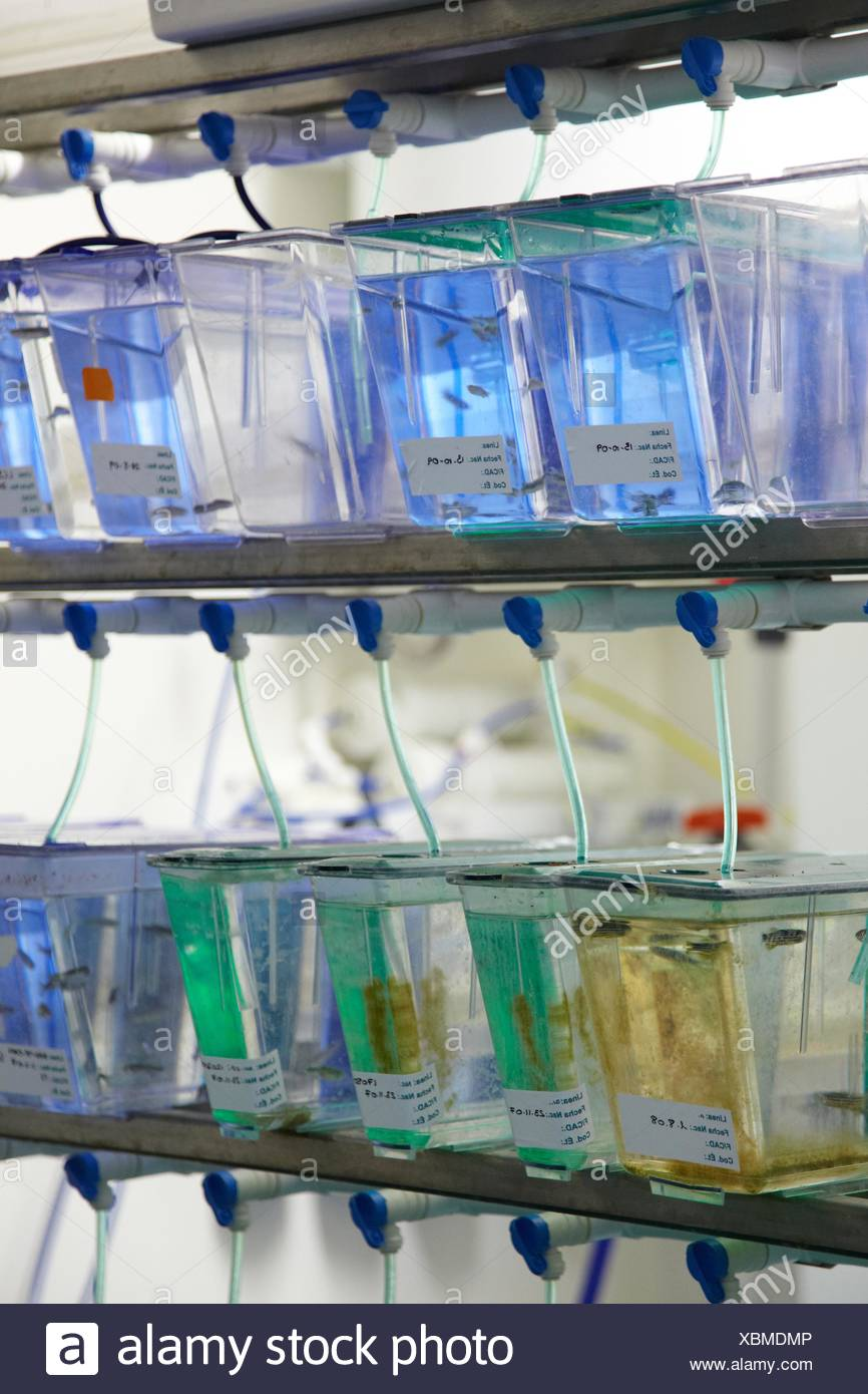 Aquariums with zebrafish Biobide is GLP certified biotechnology company offering zebrafish screening services to the - Stock Image