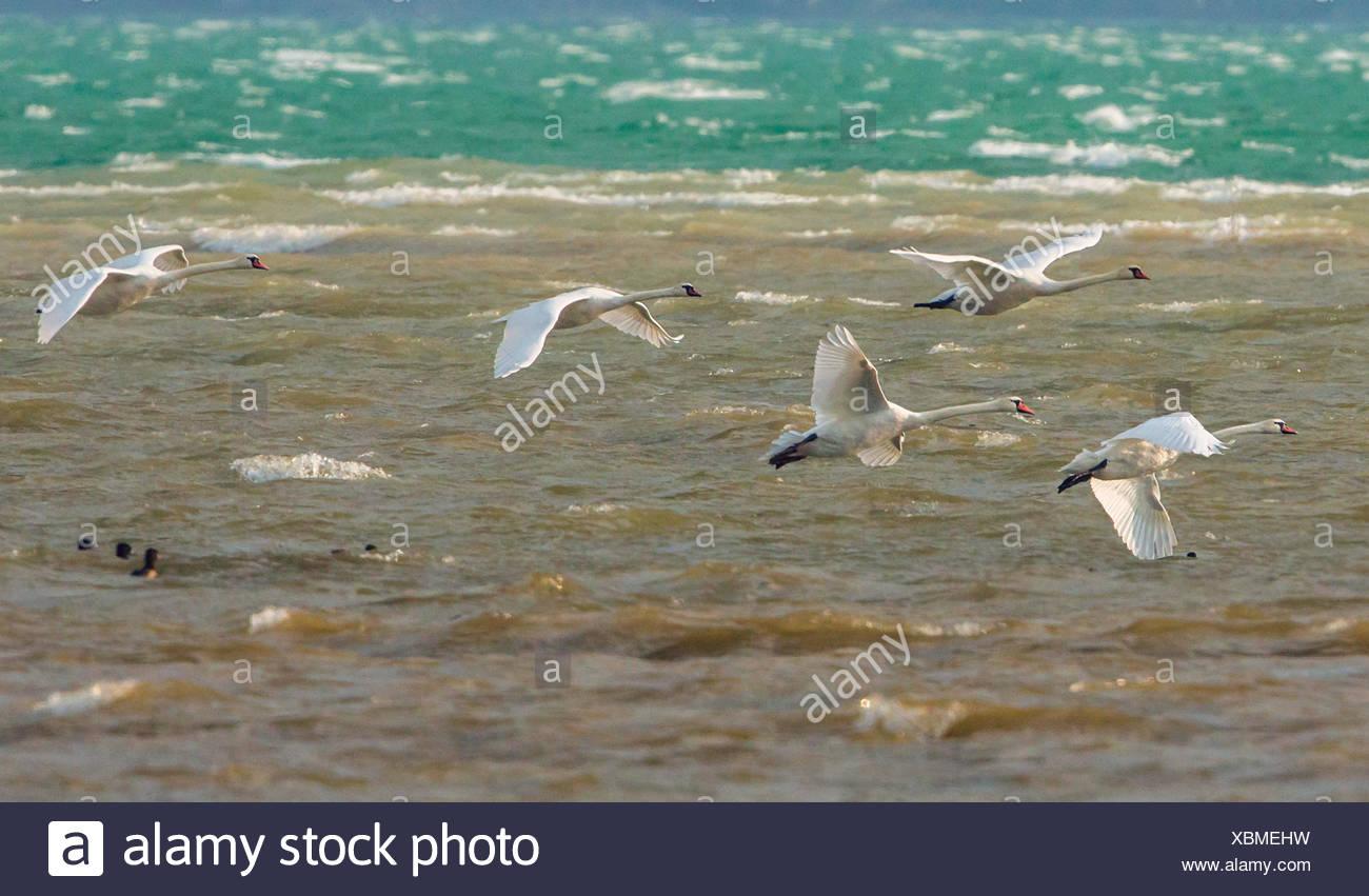 mute swan (Cygnus olor), five mute swans stemming against storm, Germany, Bavaria, Lake Chiemsee - Stock Image