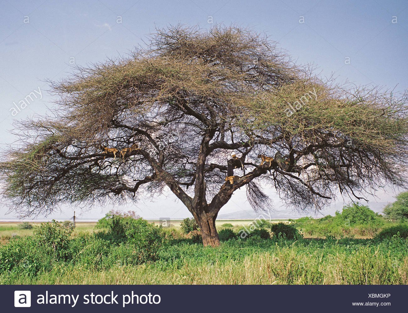 Six tree climbing lions resting on the braches of Acacia tortilis tree in Lake Manyara National Park Tanzania East Africa - Stock Image