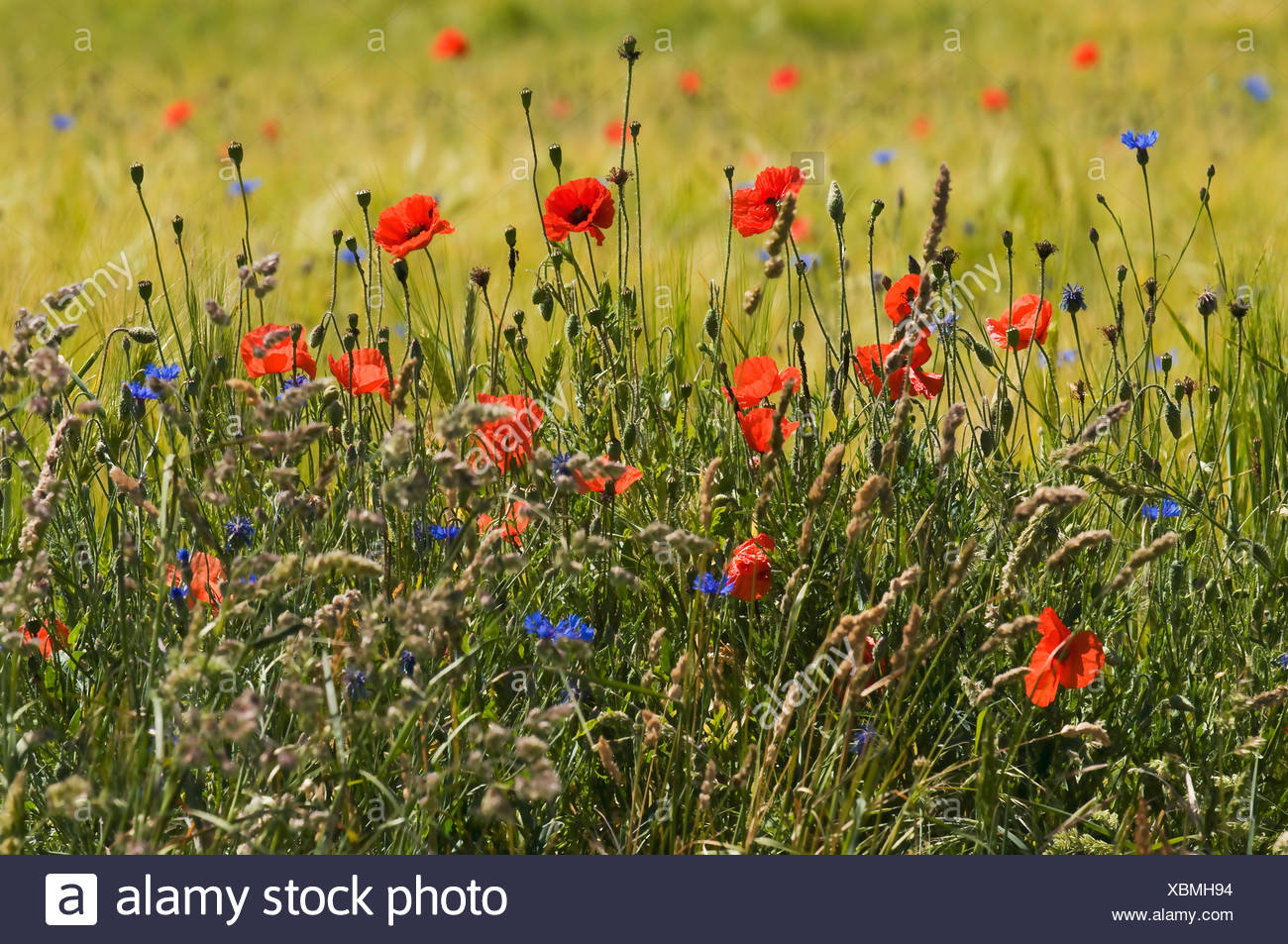 Natural edge of a field with flowering grasses and wild flowers, Poppies (Papaver rhoeas), Cornflower (Centaurea cyanus) - Stock Image