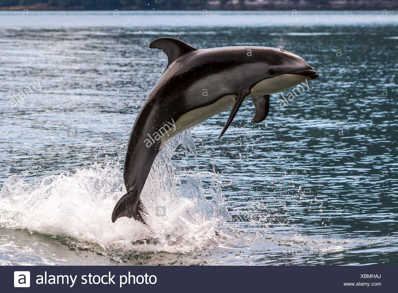 Pacific White Sided Dolphin (Lagenorhynchus obliquidens) jumping in Broughton Archipelago Marine Park in British Columbia - Stock Image