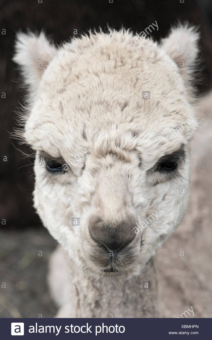 Alpaca portrait. - Stock Image