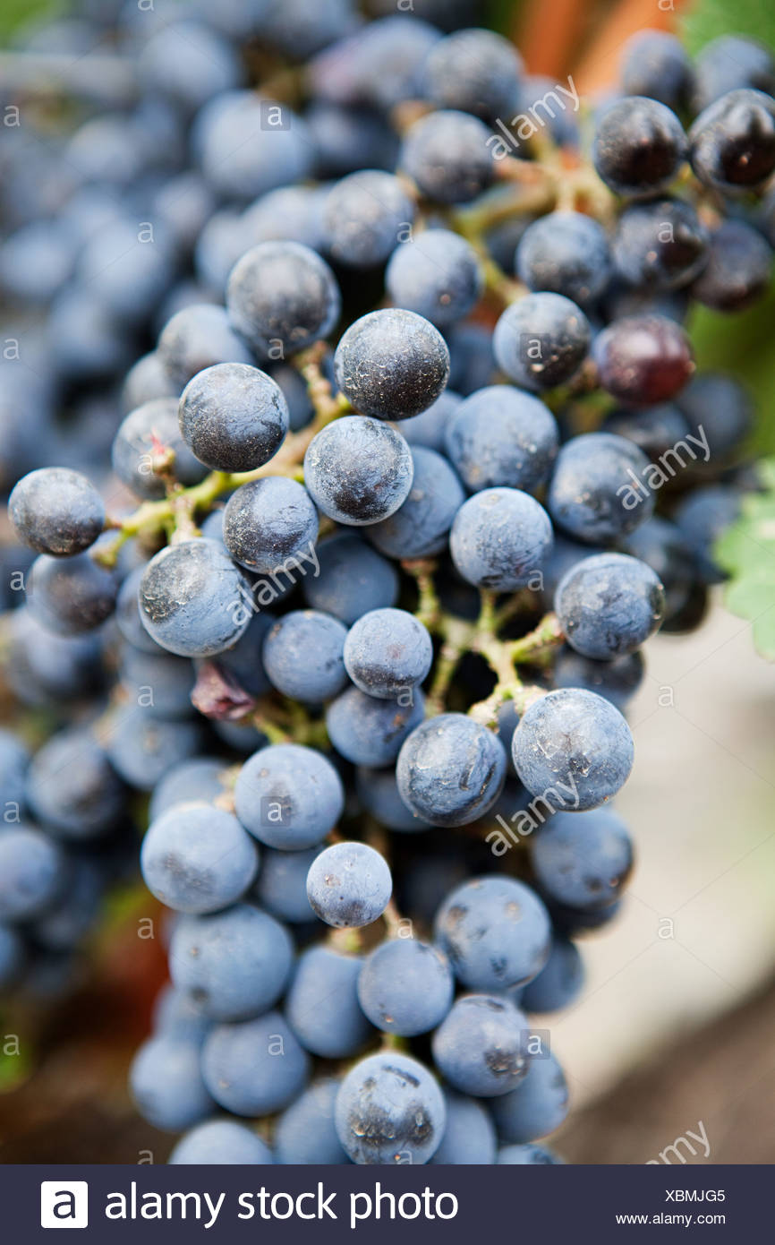 Red grapes - Stock Image