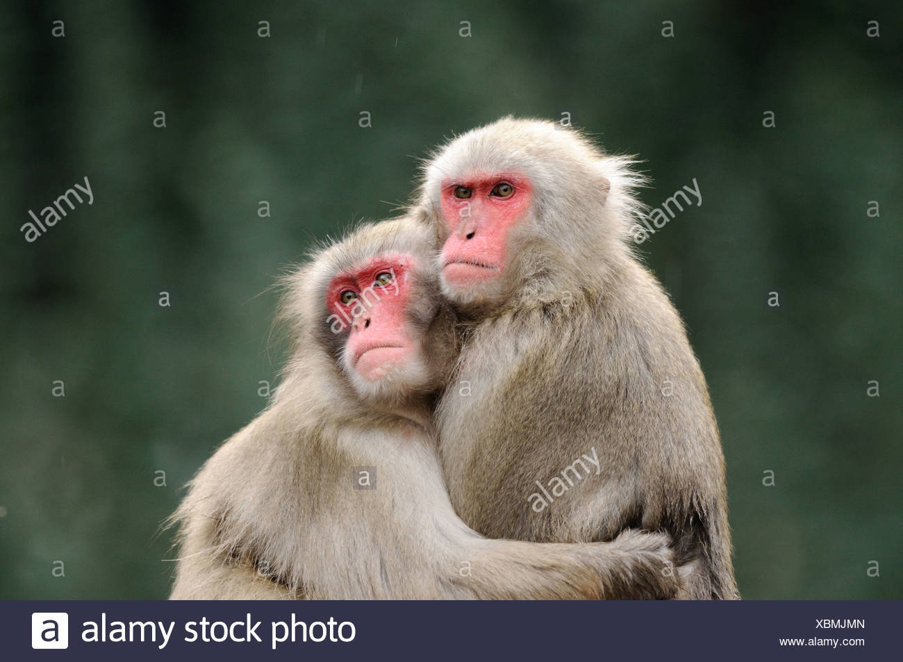 Two Red-faced makaks (Macaca fuscata) embracing each other Stock Photo