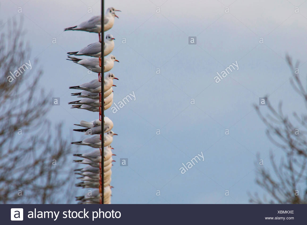 black-headed gull (Larus ridibundus, Chroicocephalus ridibundus), troop on a wire rope, Germany, Bavaria, Niederbayern, Lower Bavaria - Stock Image