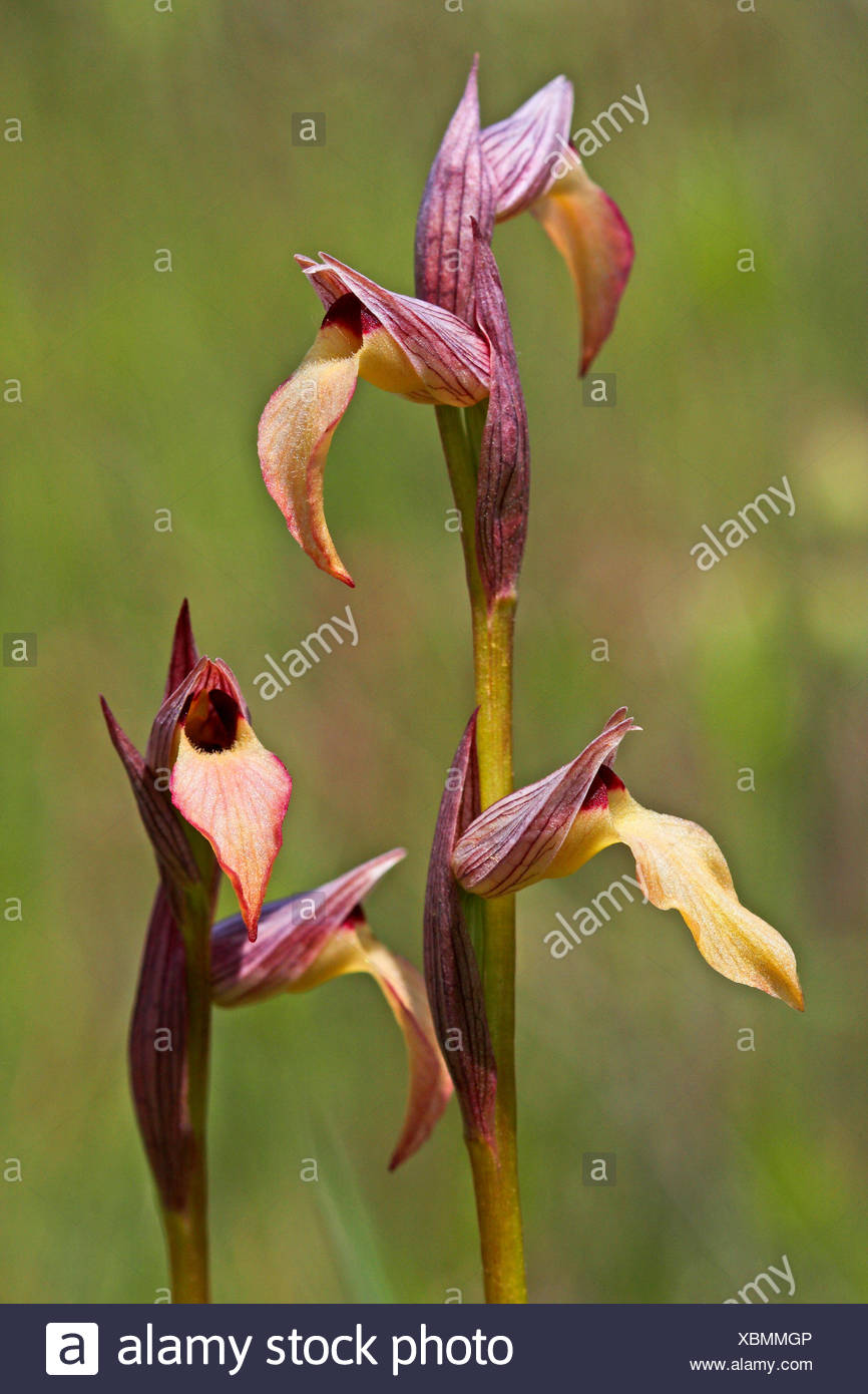Tongue orchid (Serapias lingua), two inflorescences - Stock Image