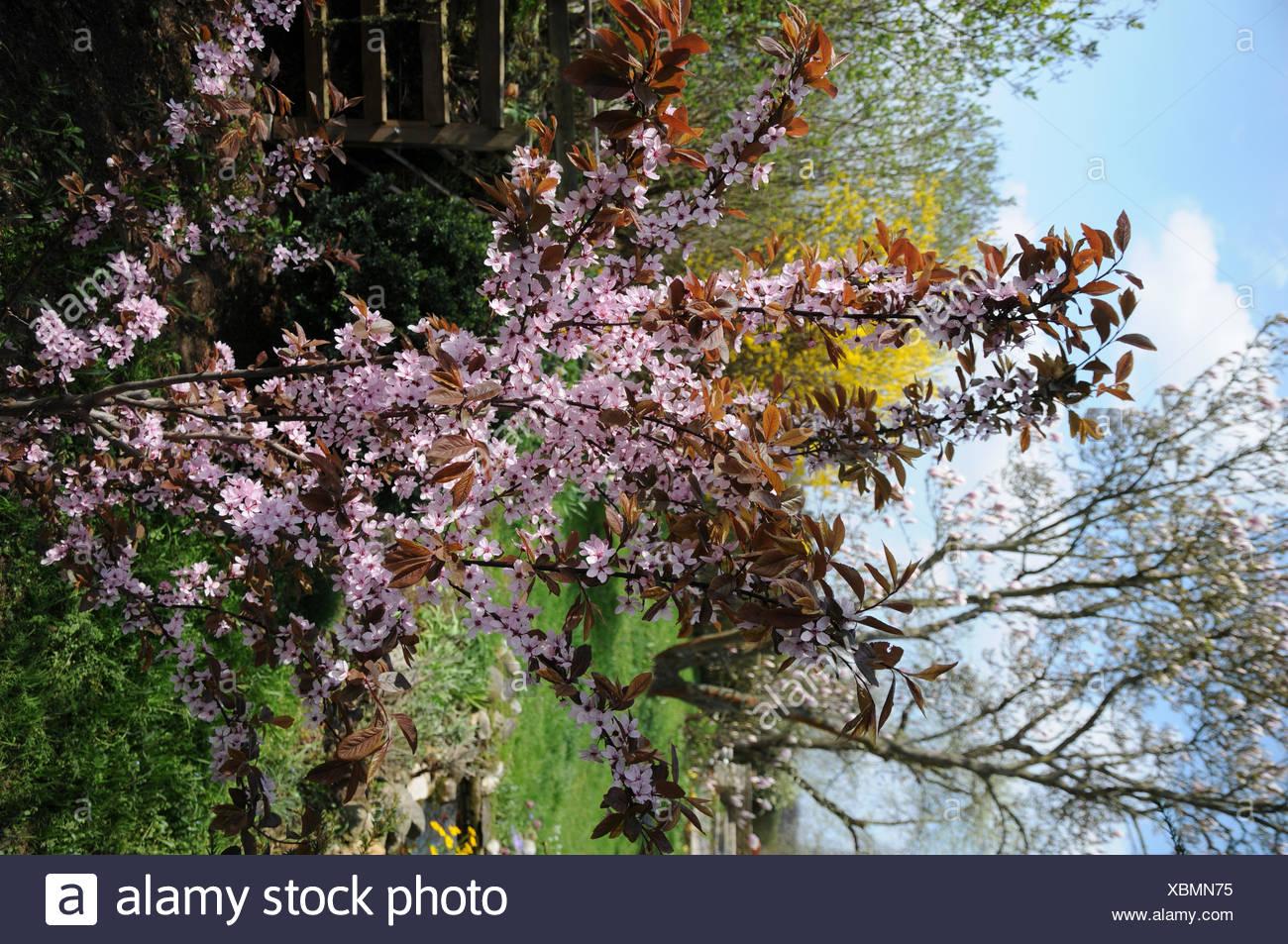 Prunus Cistena Dwarf Redleaf Cherry Plum Stock Photo 282582809