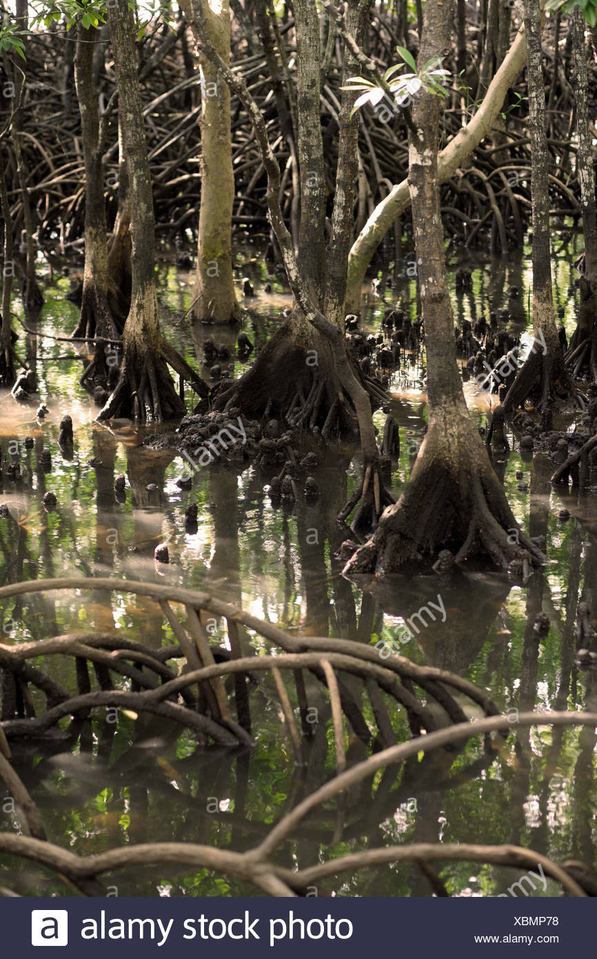 A confusing array of tree trunks with roots of the mangrove forest with reflection in the water in the coastal lowlands of - Stock Image