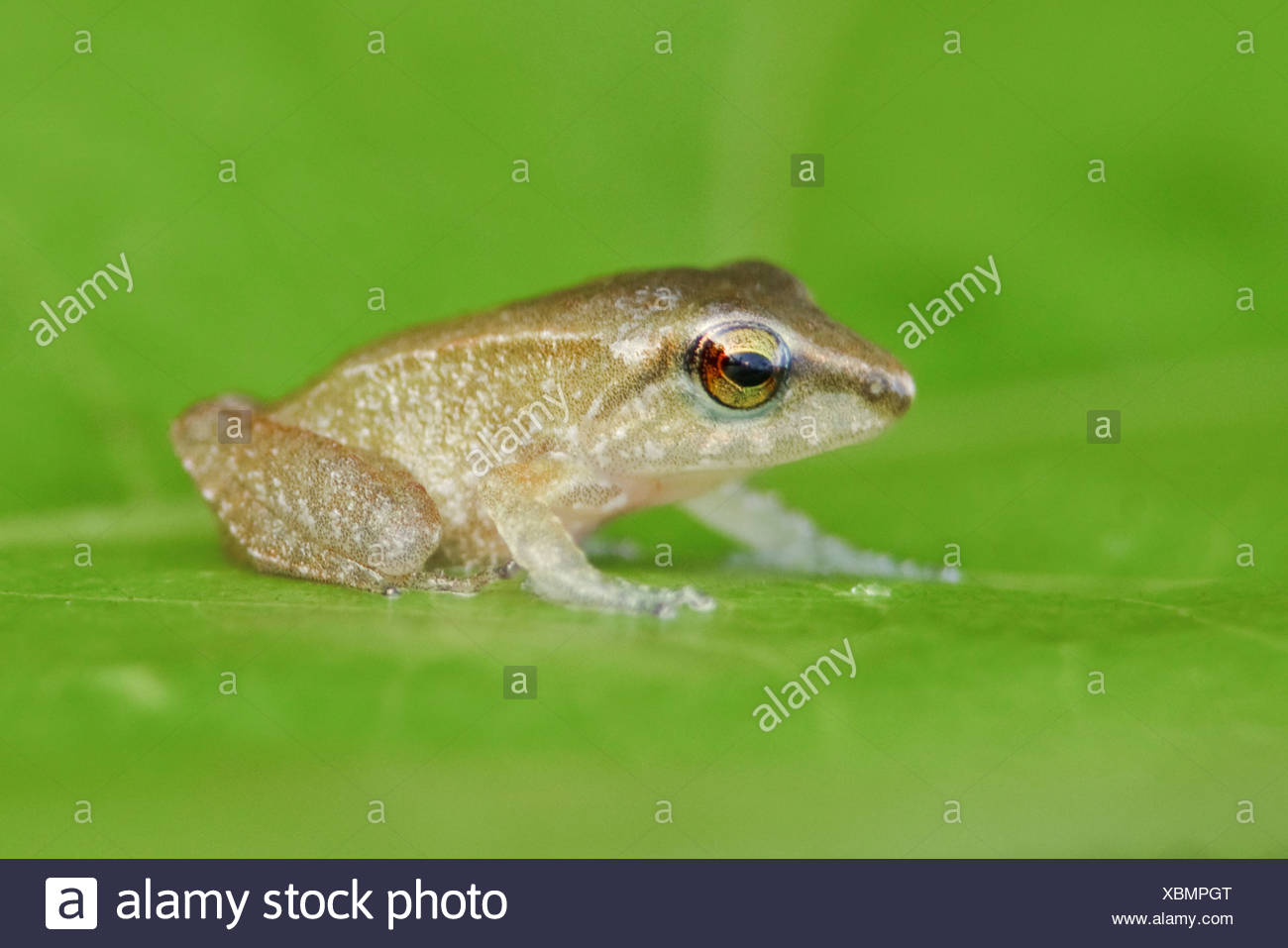 A treefrog perched on a leaf in the Milpe reserve in northwest Ecuador. - Stock Image